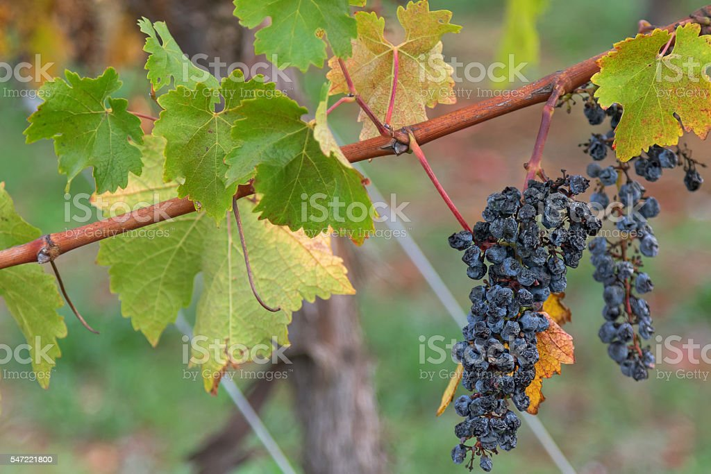 Ripened mature wine grapes growing on limestone coast in Coonawara stock photo