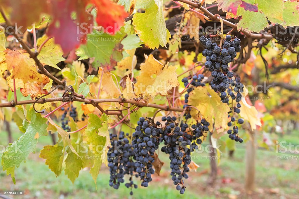 Ripened mature wine grapes in Coonawarra winery, Autumn in Australia stock photo