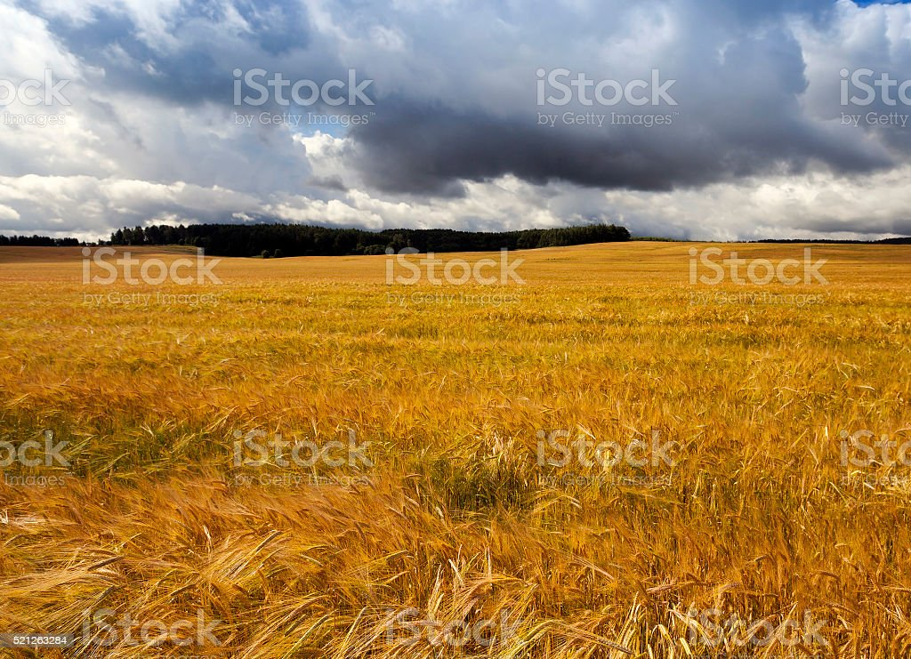ripened   yellow cereals stock photo