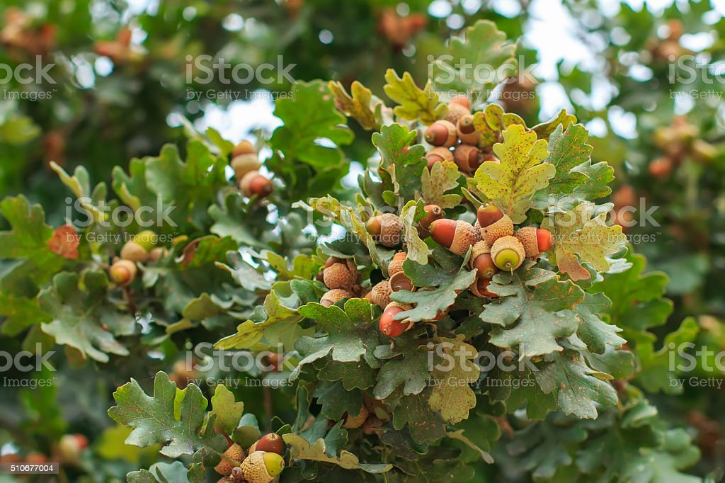 Ripening acorns on tree branch stock photo