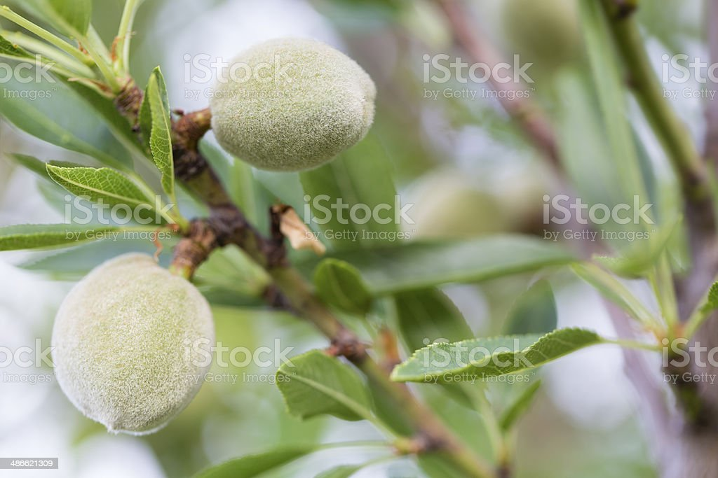 ripening almonds in the island majorca royalty-free stock photo
