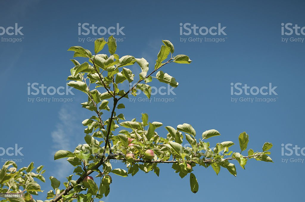 Ripening apple royalty-free stock photo
