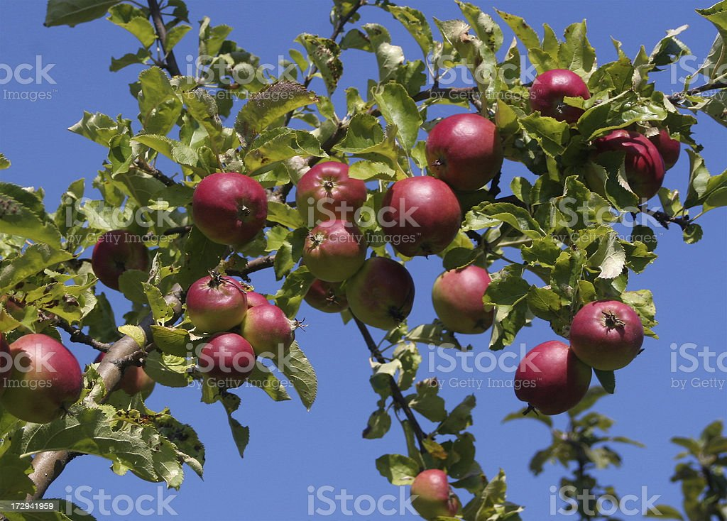 Ripening Apples On Tree royalty-free stock photo