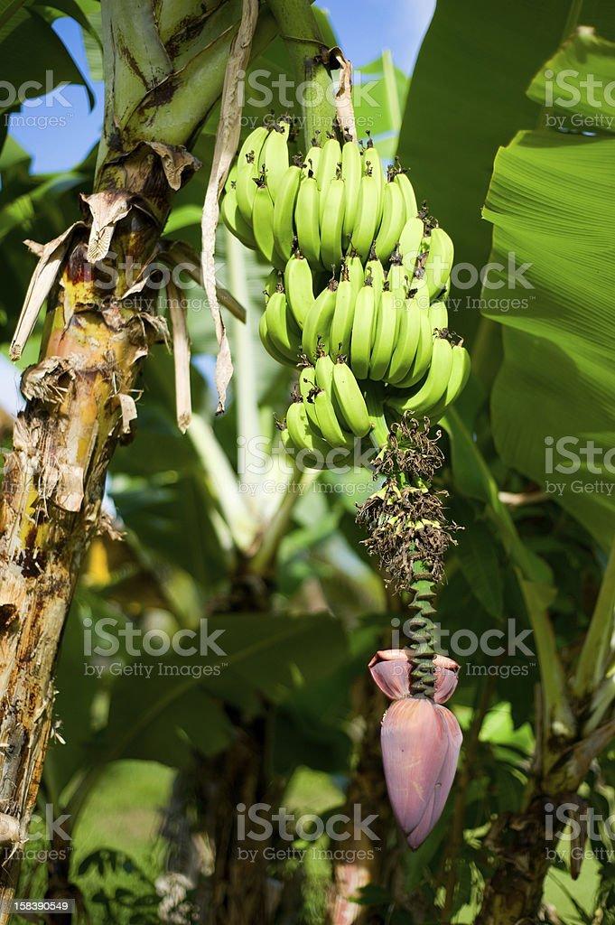Ripening Bananas royalty-free stock photo
