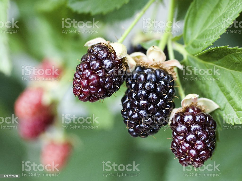 Ripening Blackberries royalty-free stock photo