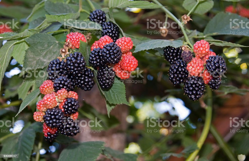 Ripening Blackberries stock photo