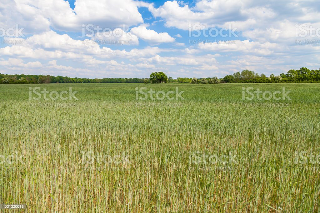 ripening corn field and a tree stock photo