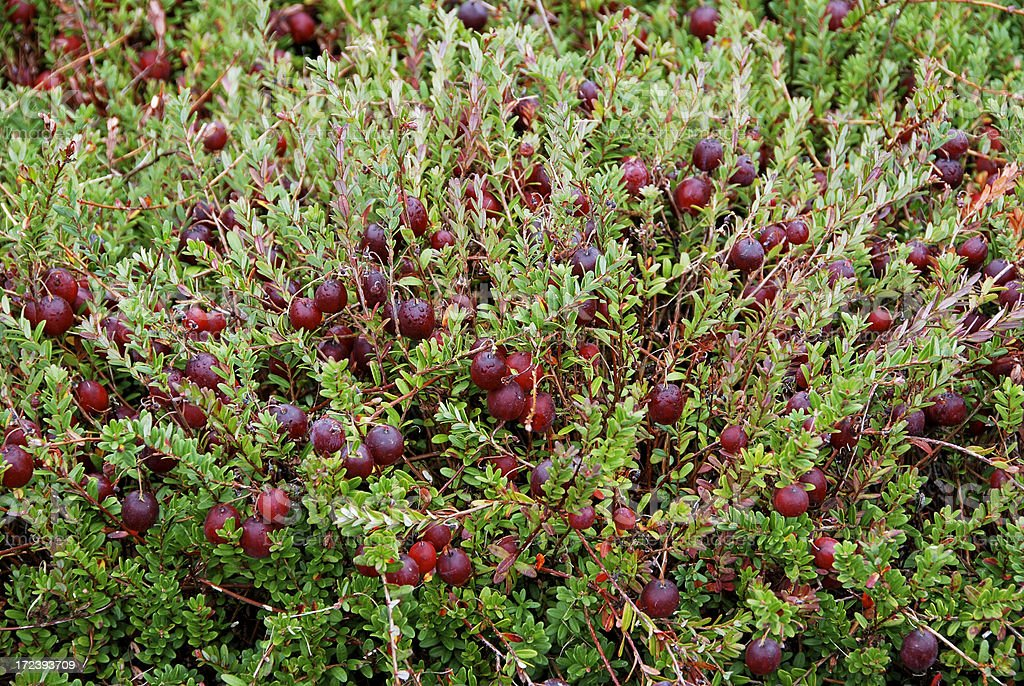 Ripening cranberries royalty-free stock photo