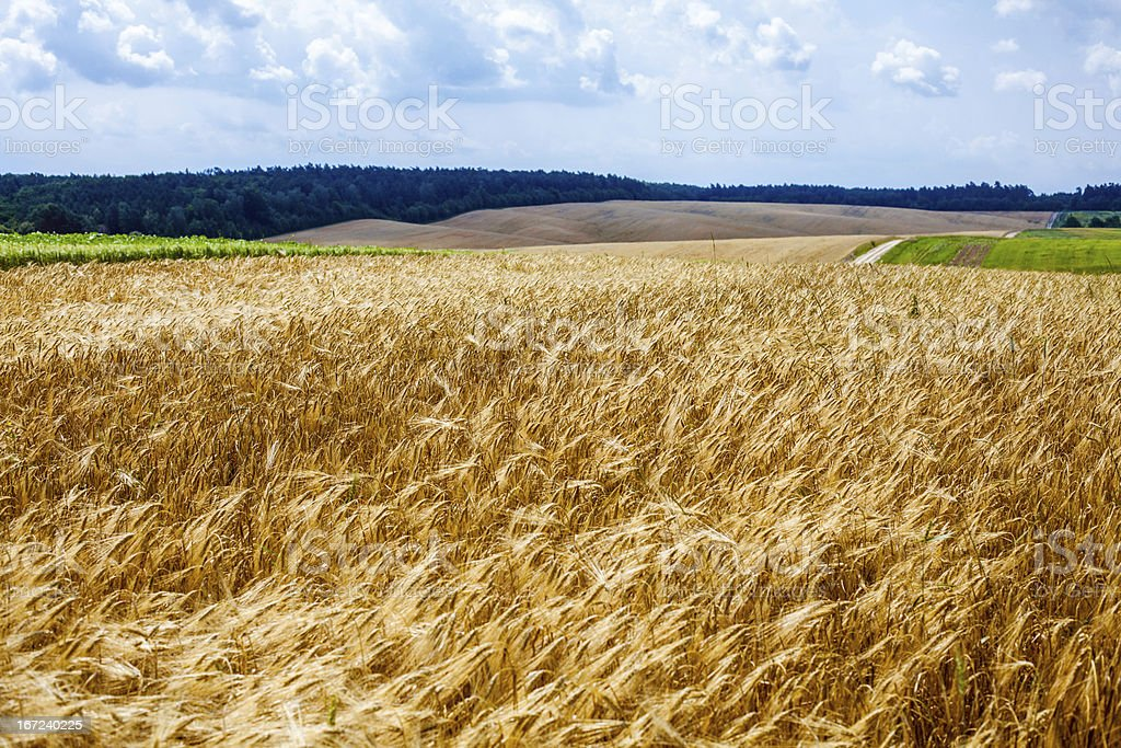 Ripening ears of wheat field. royalty-free stock photo