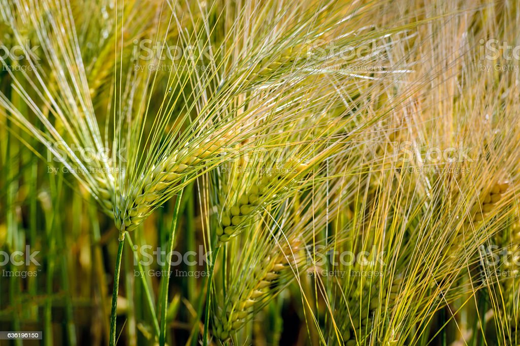 Ripening Einkorn wheat spikes from close stock photo