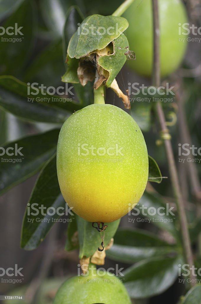 Ripening passion fruit royalty-free stock photo