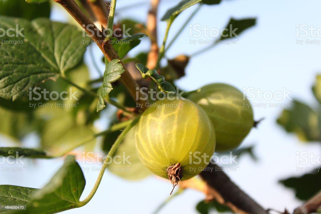 Ripening gooseberries stock photo