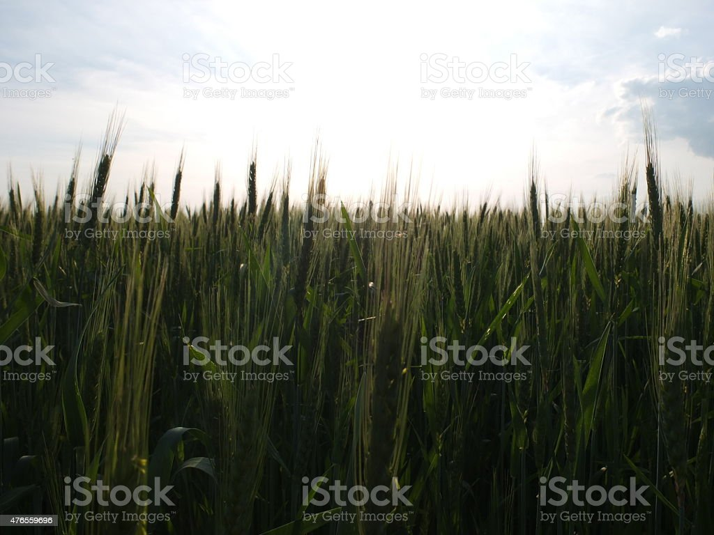 Ripening grain in the evening sky. stock photo