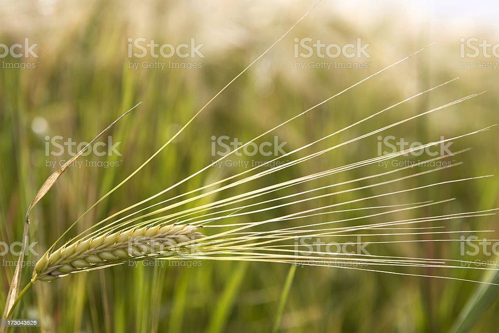 Ripening grain stock photo
