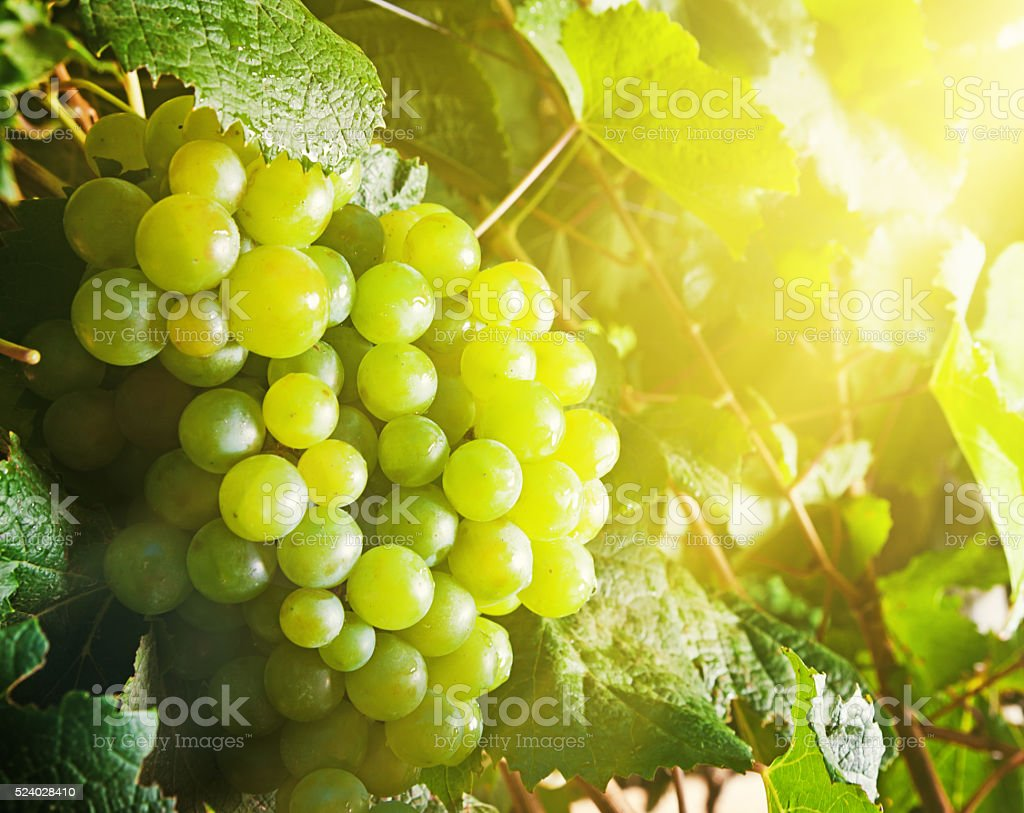 Ripening grapes glowing in the sunshine stock photo
