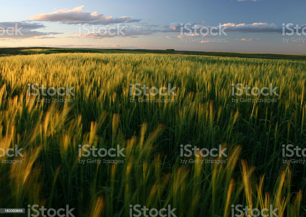 Ripening Green Wheat Field on the Great Plains stock photo