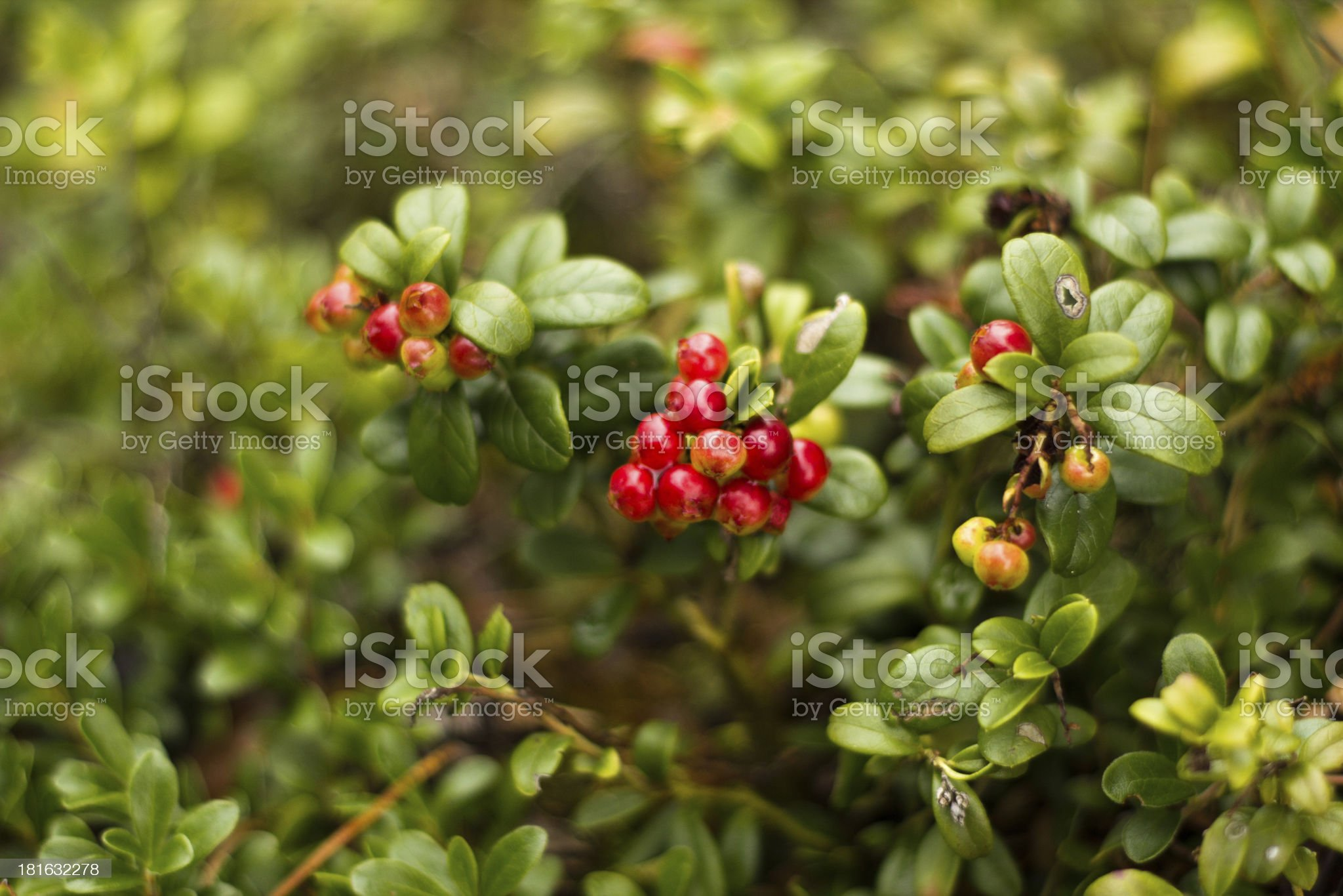 Ripening Lingonberries royalty-free stock photo
