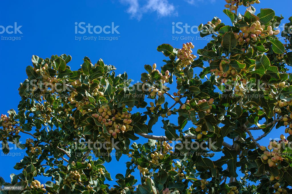 Ripening Pistachio on Tree Branches stock photo