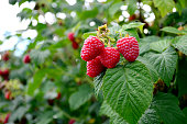 Ripening Raspberries on the Vine