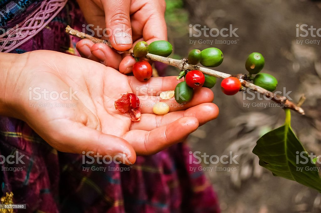 Ripening raw coffee beans on plant stock photo