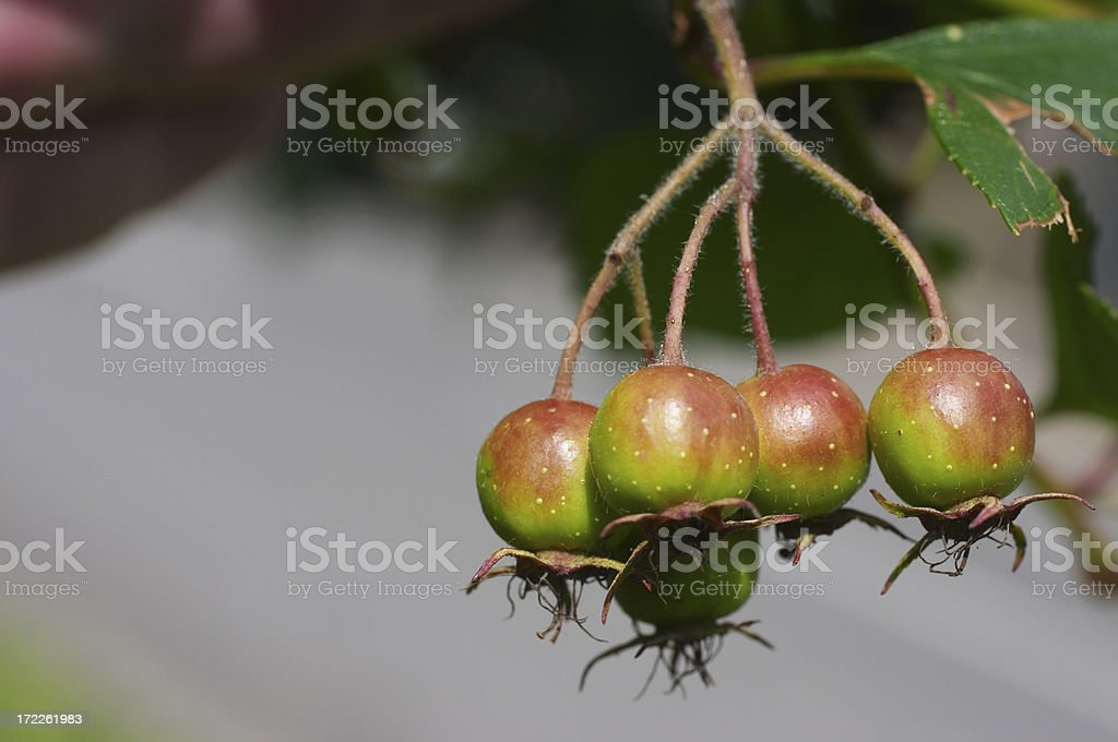 Ripening red crab apples in early summer royalty-free stock photo