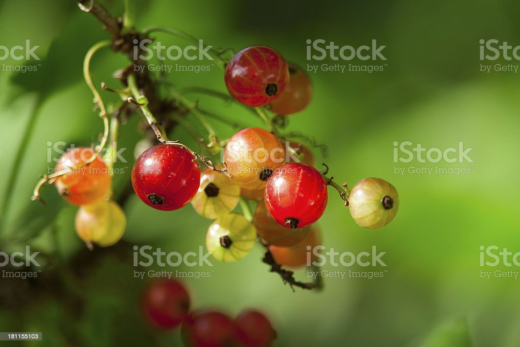 Ripening Red Currants royalty-free stock photo