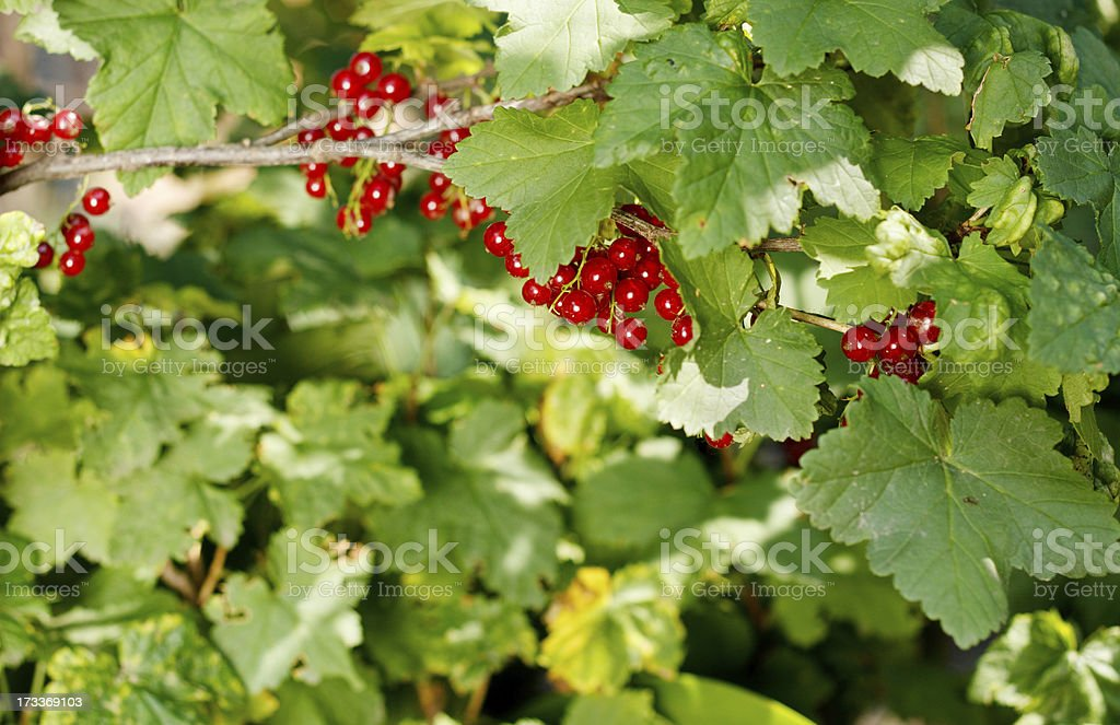 ripening redcurrant bunch on the branch royalty-free stock photo
