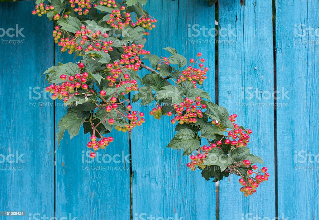 Ripening rowan branch against a blue wooden fence stock photo