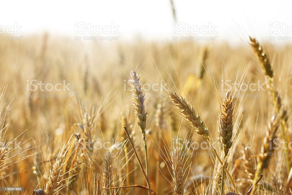 Ripening spikelets of wheat field in the bright sunlight royalty-free stock photo