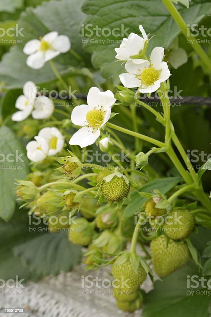 Ripening Strawberries royalty-free stock photo