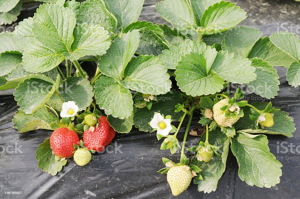 Ripening strawberry fruits royalty-free stock photo