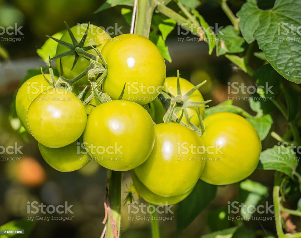 Ripening tomatoes in a  glasshouse stock photo