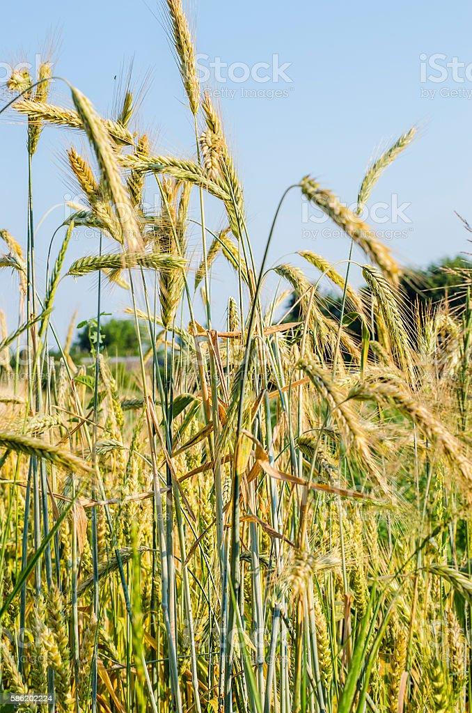ripening wheat field stock photo