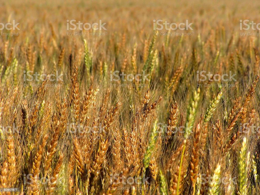 ripening wheat royalty-free stock photo