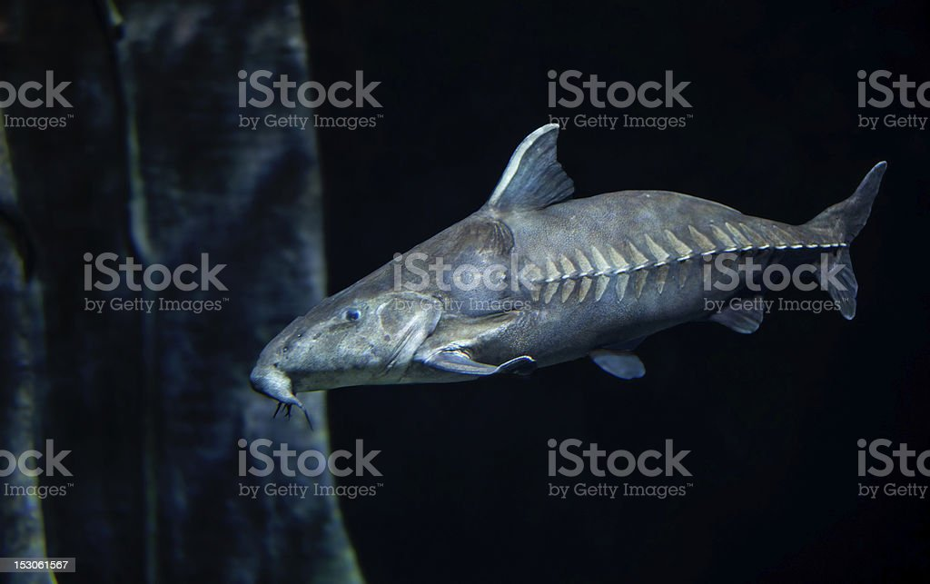 Ripsaw cat fish proflie stock photo