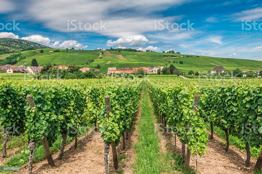 Riquewihr vineyards in Alsace France stock photo