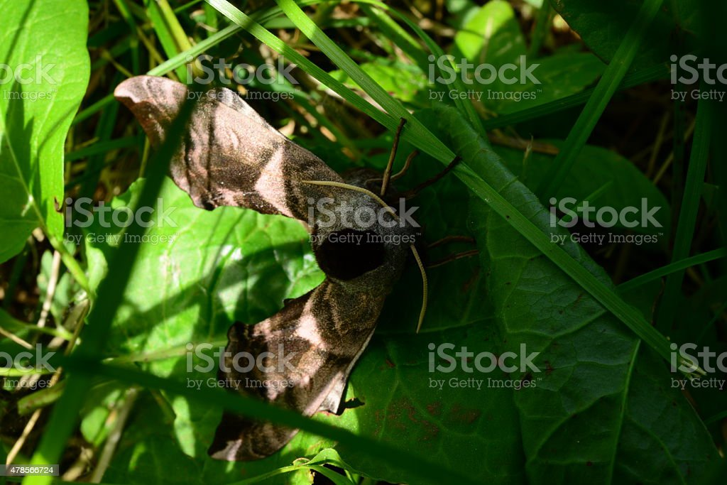 Rises of Leaves of Grass Butterfly smerinthus ocellatus stock photo