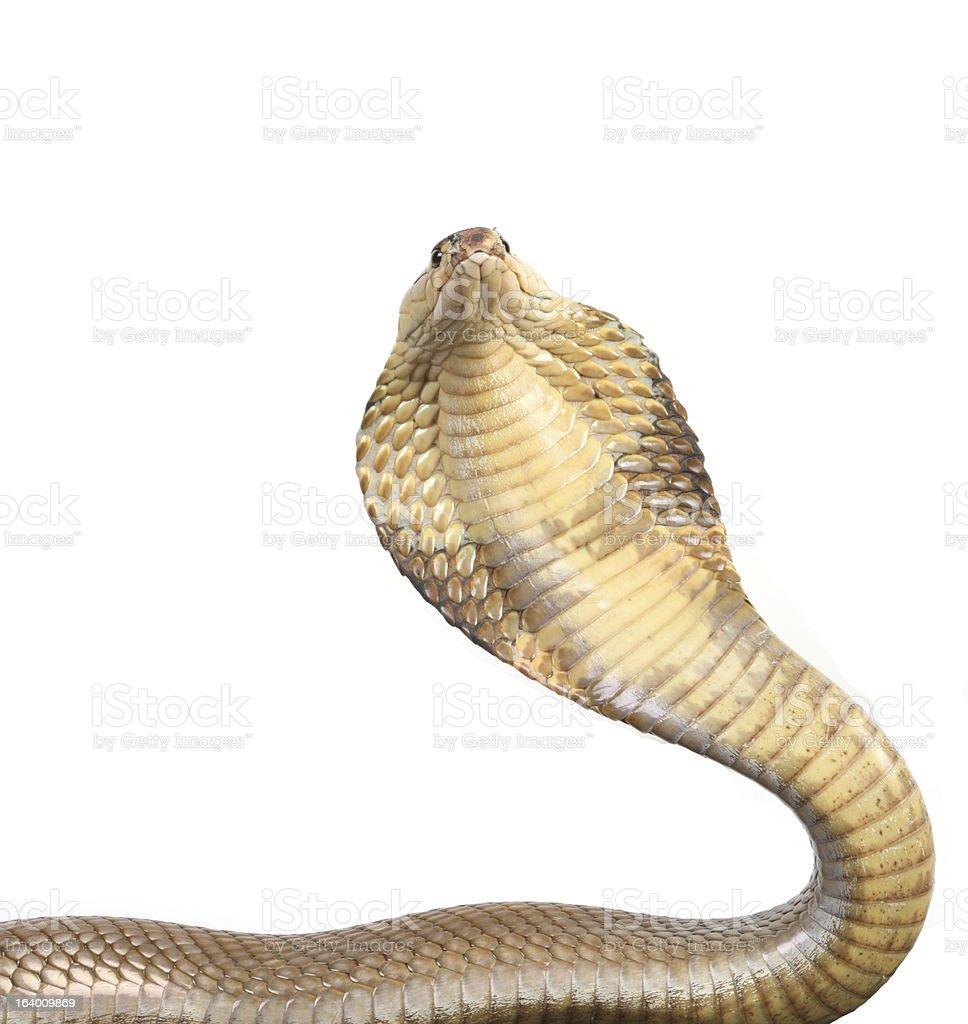 Rising cobra on white royalty-free stock photo
