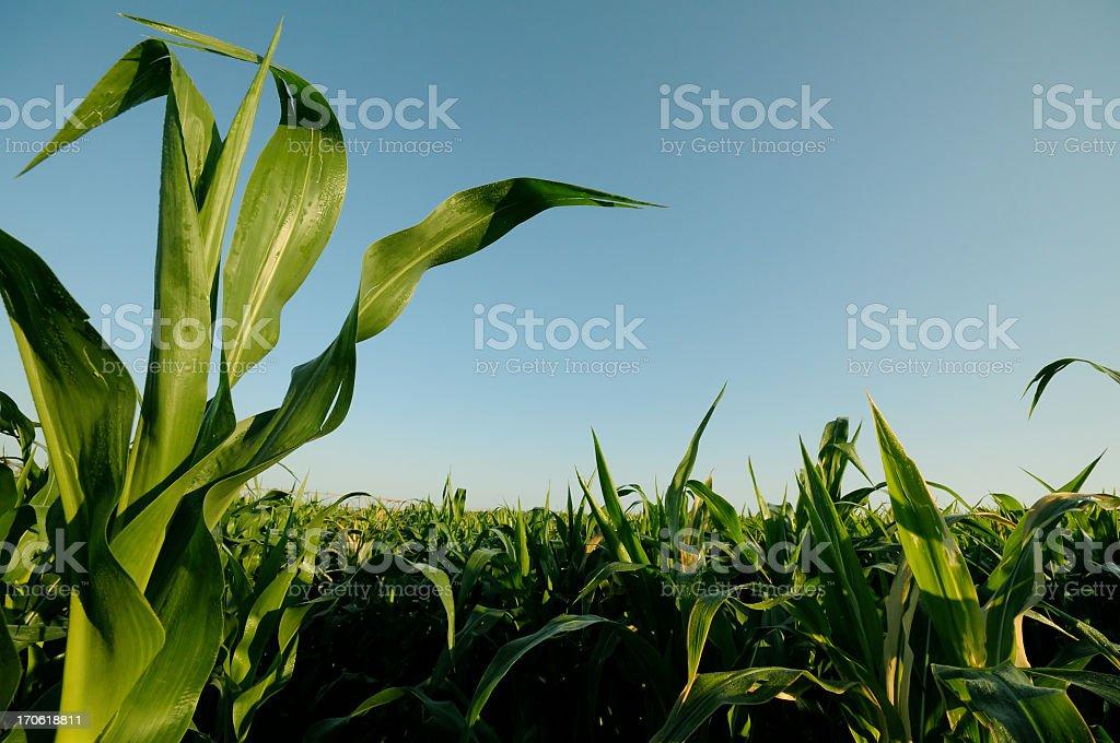 Rising corn plantation against blue sky royalty-free stock photo