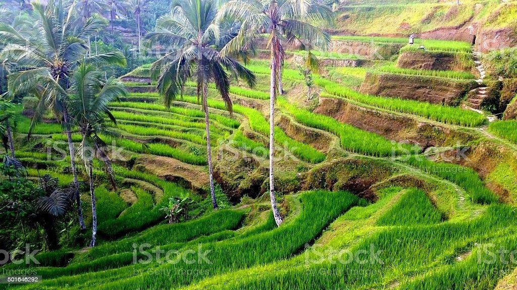 Rive terraces of Tegalalang stock photo