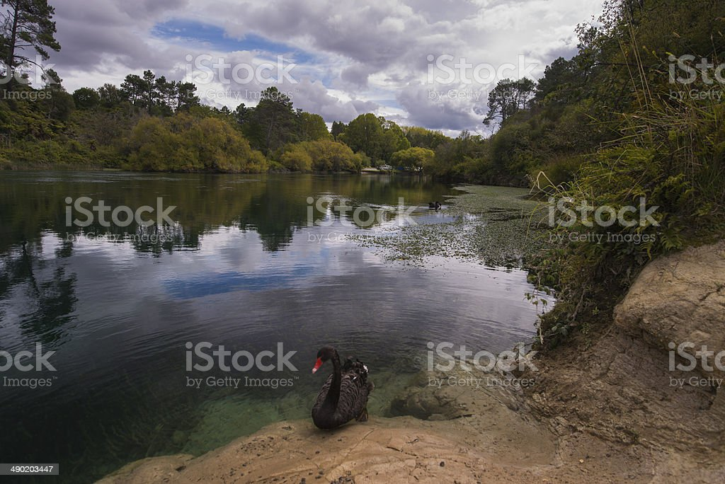 River and Black Swan (NZ) stock photo