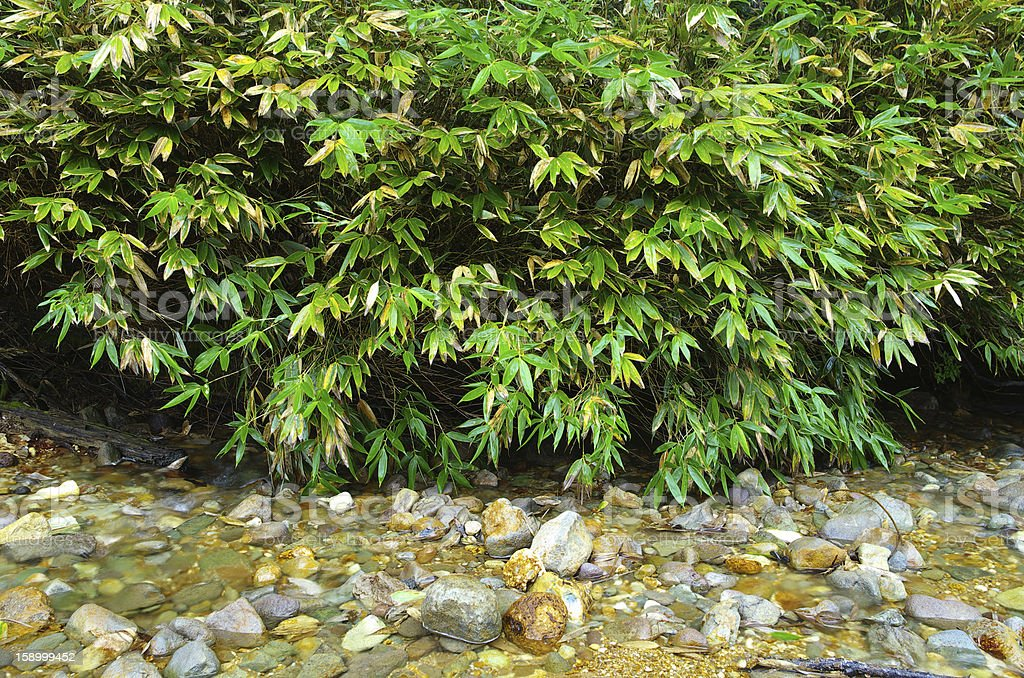 River bamboo stock photo