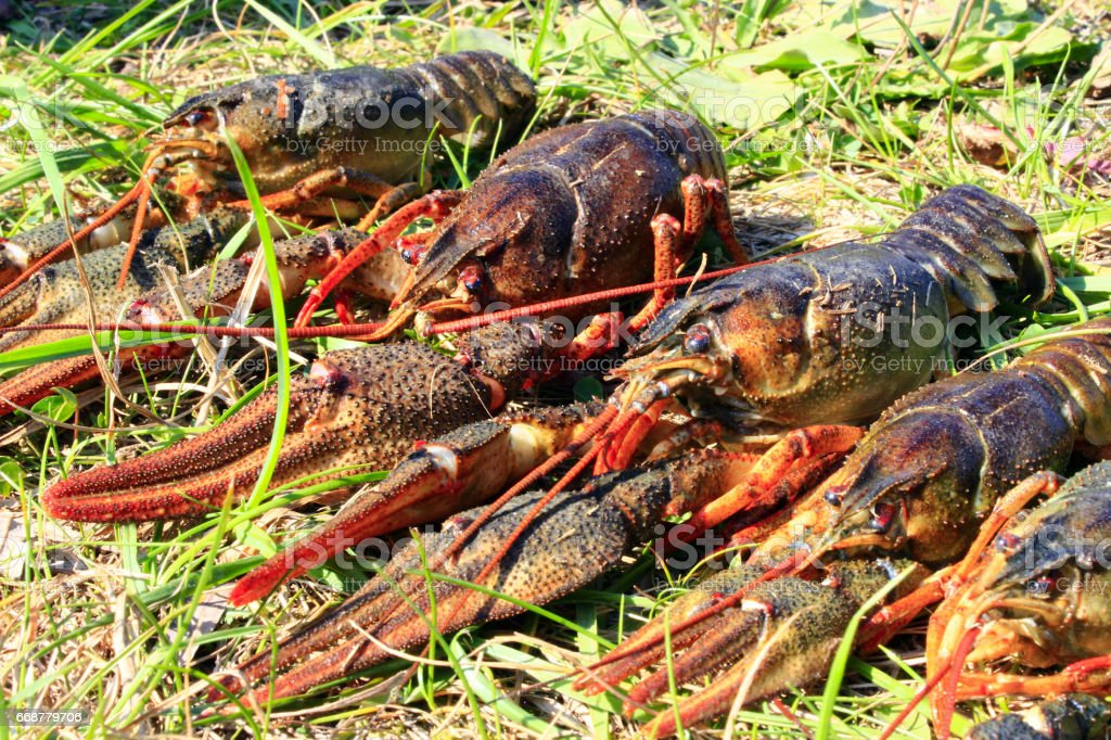 river cancers on the grass stock photo