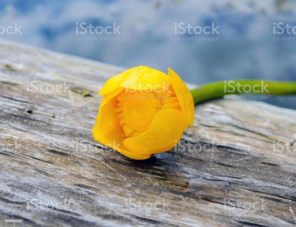 River Flower - Kubishka (yellow water lily) stock photo