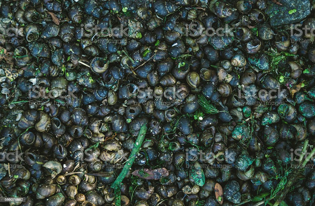 River freshwater shells stock photo