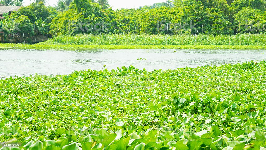 River full of Water hyacinth stock photo