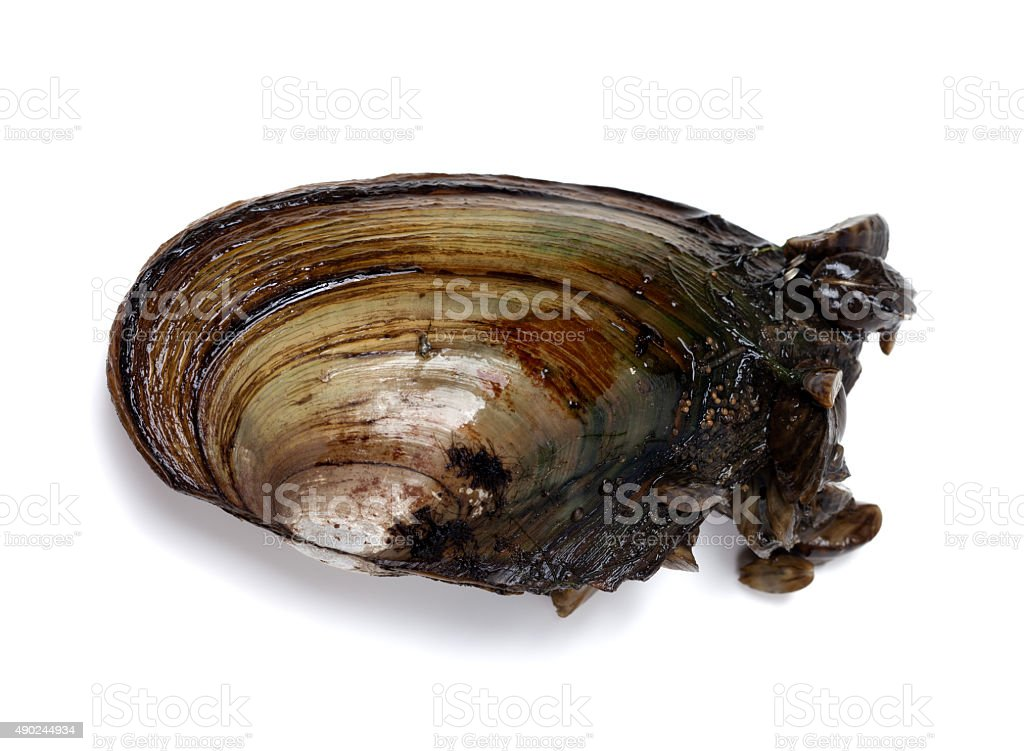 River mussel (Anodonta) with small mussels stock photo