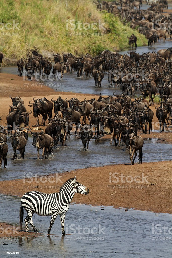 River of wildebeest, migration, Serengeti stock photo