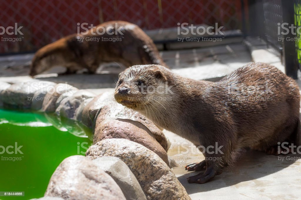River otter Close-up stock photo
