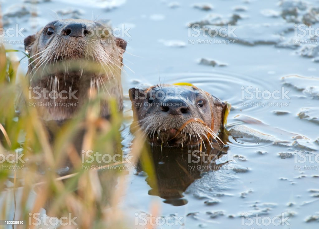 River otter Hide-and-Seek royalty-free stock photo